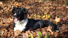 Free Border Collie Royalty Free Stock Image - 29295946