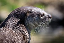 Wet Otter Royalty Free Stock Photo