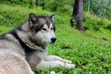 Free Malamute Dog On A Grass Stock Photos - 29296383