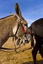 Free Donkeys Walking On Beach Stock Photography - 2935812
