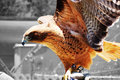 Free Red Tailed Hawk Royalty Free Stock Photos - 2937318