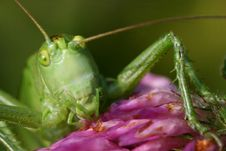 Free Portrait Of Grasshopper Royalty Free Stock Image - 2930216