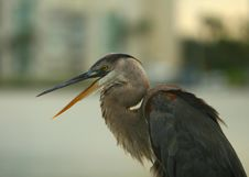 Free Speaking Heron Stock Photography - 2930602