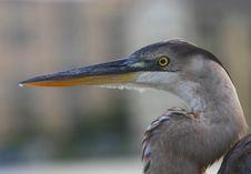 Heron, Grey Egret, Grey Heron Royalty Free Stock Image