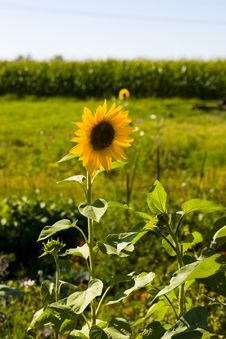 Free Sunflowers On A Green Field Stock Photography - 2931312