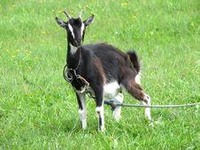 Free Black Goat Royalty Free Stock Image - 2932096
