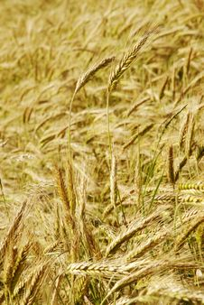 Free The Rye Field Royalty Free Stock Photography - 2932837
