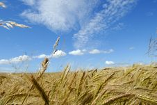 Free The Rye Field Stock Images - 2932904