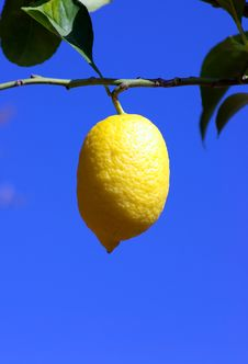 Free Lemon Tree Royalty Free Stock Image - 2933206