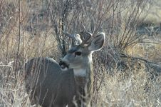Free Mule Deer Royalty Free Stock Images - 2933819