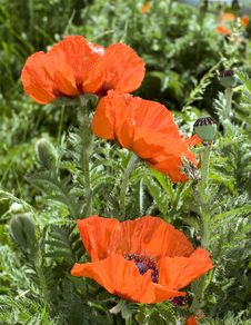 Free Red Poppies Royalty Free Stock Image - 2934876