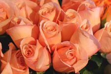 Free Pink Roses Royalty Free Stock Images - 2935989