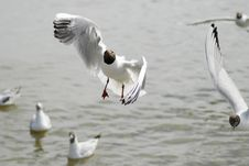 Free Seagull Flying Stock Photos - 2936303