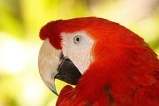 Free Red Macaw Royalty Free Stock Photo - 2936425