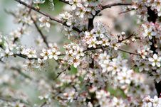 Free Cherry Blossoms Royalty Free Stock Photo - 2936555