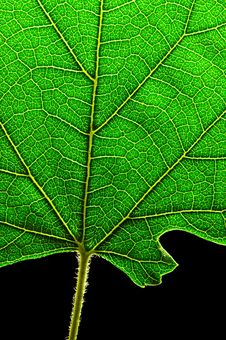 Free Green Leaf Bottom Royalty Free Stock Image - 2936786