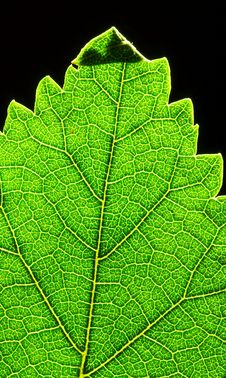 Free Green Leaf Top Royalty Free Stock Images - 2936869