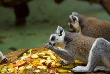 Free Lemurs Royalty Free Stock Photo - 2936875