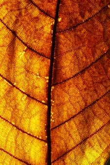 Free Red Leaf Texture Royalty Free Stock Photo - 2936955