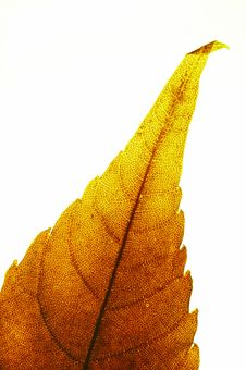 Free Red Leaf Tip Stock Images - 2936974