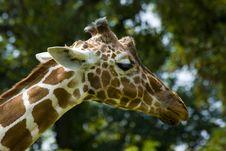Free Giraffe Stock Photos - 2937143