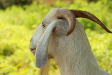 Free Boer Goat Horns Royalty Free Stock Image - 2937486
