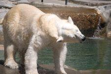 Free Polar Bear Shake Stock Photography - 2937522