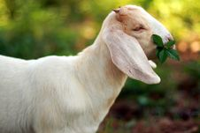 Free Baby Goat Eating Weeds Stock Photo - 2937570