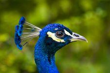 Free Peacock Stock Photo - 2937780