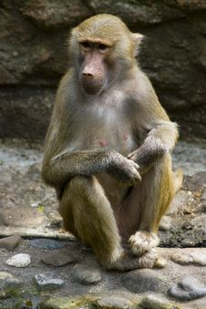 Free Baboons Stock Image - 2937891