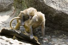 Free Baboons Stock Photo - 2938040