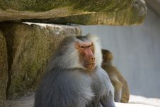 Free Baboons Royalty Free Stock Images - 2938149