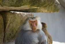 Free Baboons Stock Photography - 2938162