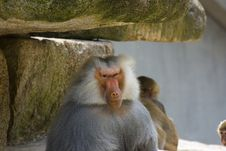 Free Baboons Stock Photos - 2938203