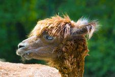Free Llama Royalty Free Stock Images - 2938779