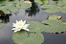 Free Water-lily Stock Photography - 2938812