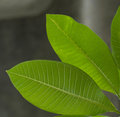Free Green Leaves Royalty Free Stock Photography - 29300307