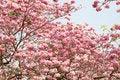 Free Pink Trumpet Tree Stock Photo - 29300570