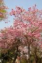 Free Pink Trumpet Tree Royalty Free Stock Image - 29301006