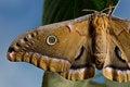 Free Polyphemus Moth Stock Image - 29306071
