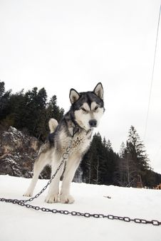 Free Husky Royalty Free Stock Photography - 29302897