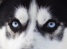 Free Close Up On Blue Eyes Of A Dog Royalty Free Stock Photos - 29303008