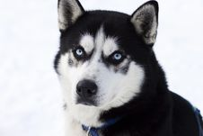 Free Close Up Portrait Of Husky Stock Images - 29303014