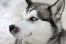 Free Close Up Portrait Of Husky Royalty Free Stock Photos - 29303028