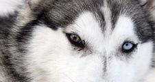 Free Close Up On Blue Eyes Of A Dog Stock Photography - 29303032