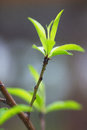Free Young Peach Leaves Close-up Stock Photo - 29310980