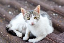 Free Close Up Front View Of Cat On Tile Roof Royalty Free Stock Photo - 29314845