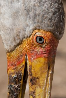 Free Yellow-billed Stork Stock Image - 29318591