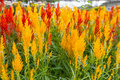 Free Celosia Cristata Flower Royalty Free Stock Photo - 29325025