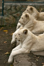 Free White Lion Stock Images - 29326124